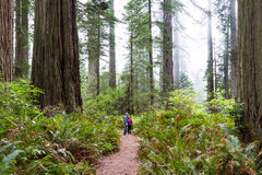 Redwood trees, California Stock Images