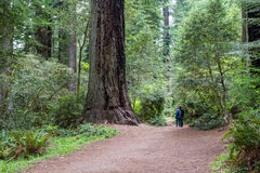 Redwood trees, California. Redwood Tress NP, California - June 17 : Hikers enjoying a hike among giant redwood trees, June 17 2015 Redwood Trees NP, California royalty free stock photography