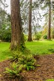 Redwood trees and ferns near the entrance to Benmore Botanic Garden, Scotland. Redwood trees and ferns near the entrance to Benmore Botanic Garden, Loch Lomond royalty free stock image