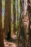 Redwood trees forest Sequoia sempervirens, San Francisco bay area, California royalty free stock photography