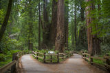 Redwood trees Stock Photos
