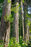 Redwood trees in line Stock Images
