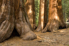 Redwood Trees in Mariposa Grove, Yosemite. The Bachelor and Three Graces, in the Mariposa Grove of giant redwood trees, Yosemite National Park, California stock photography