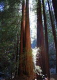 Redwood trees at Muir Woods National Monument Stock Photography