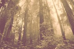 Redwood trees in Muir Woods national park Stock Image