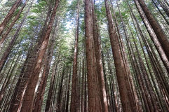 Redwood trees. Picture of redwood trees in New Zealand royalty free stock photo