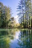 Redwood trees reflected in a calm pond, San Francisco bay area, California royalty free stock photos
