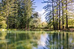 Redwood trees reflected in a calm pond, San Francisco bay area, California royalty free stock images