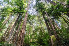 Redwood trees Sequoia sempervirens forest, California stock photo