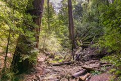 Redwood trees Sequoia sempervirens forest, California stock photos