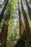 Redwood trees Sequoia sempervirens forest, California royalty free stock photography