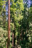 Redwood trees Sequoia sempervirens forest, California stock image
