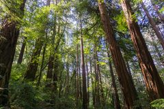 Redwood trees Sequoia sempervirens forest, California stock images