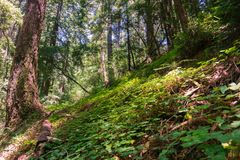 Redwood trees Sequoia sempervirens forest, California royalty free stock photos