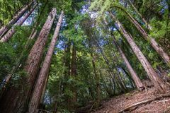 Redwood trees Sequoia sempervirens forest, San Francisco bay area, California stock photography