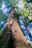 Redwood trees Sequoia sempervirens forest, San Francisco bay area, California royalty free stock photography