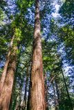 Redwood trees Sequoia sempervirens forest, San Francisco bay area, California royalty free stock photo