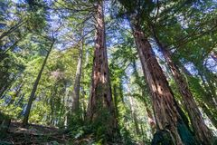 Redwood trees Sequoia sempervirens forest, San Francisco bay area, California stock photos