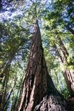 Redwood trees Sequoia sempervirens forest, San Francisco bay area, California royalty free stock image