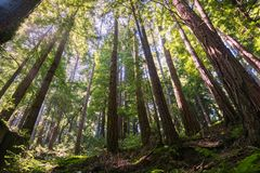 Sunny day in a redwood forest in Santa Cruz mountains, San Francisco bay area, California Stock Photography