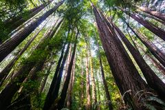Redwood trees Sequoia Sempervirens in the forests of Henry Cowell State Park, Santa Cruz mountains, San Francisco bay area stock images