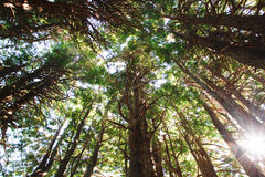 Redwood trees with sunlight Stock Photography