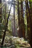 Redwood trees Stock Image