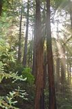 Redwood trees Royalty Free Stock Photography