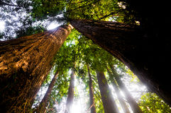 Redwood trees. Tall redwood trees in Muir Woods stock images
