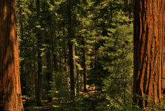 Redwood Trees 0119 Royalty Free Stock Photos