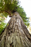 Redwood Trunk and Canopy Stock Photography