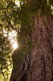 Redwood Trunk and Sun Flare Royalty Free Stock Photo