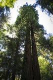 Redwoods στα ξύλα Muir Στοκ Εικόνες