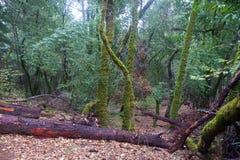 Redwoods Армстронга заявляют природный заповедник, Калифорнию, Соединенные Штаты - для того чтобы сохранить 805 акров 326 ha секв Стоковые Изображения RF