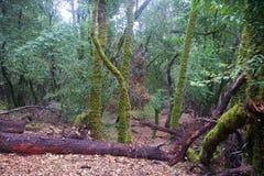 Redwoods Армстронга заявляют природный заповедник, Калифорнию, Соединенные Штаты - для того чтобы сохранить 805 акров 326 ha секв Стоковые Фотографии RF