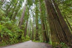 Redwoods вдоль дороги холма Howland Стоковая Фотография