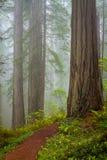 Redwoods и рододендроны вдоль заводи Damnation отстают в De Стоковое Изображение
