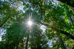 Redwoods Калифорнии с солнцем и светлым отражать Стоковое Фото