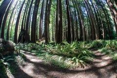 Redwoods Калифорнии 1 Стоковые Изображения