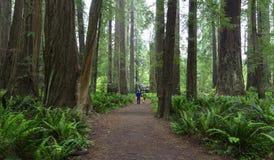 Redwoods, Калифорния Стоковая Фотография RF