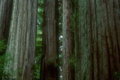 Redwoods 02. Redwoods,Big Basin State Park, California, USA stock photography