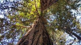 redwoods obrazy stock