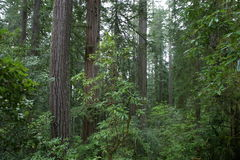 Redwoods. Giant redwooods in Redwood National Park royalty free stock photo