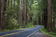 Redwoods Royalty Free Stock Photo