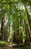 Redwoods Stock Images