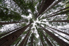 Redwoods. An old grove of Coast Redwoods Royalty Free Stock Image