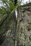 Redwoods стоковое изображение rf