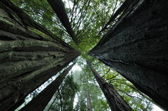 Redwoods Stock Photos