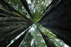Redwoods стоковые фото