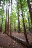 Redwoods Стоковое фото RF